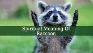 Spiritual Meaning Of Raccoon
