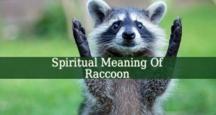 Spiritual Meaning Of Raccoon