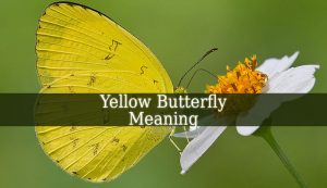 Yellow Butterfly Meaning